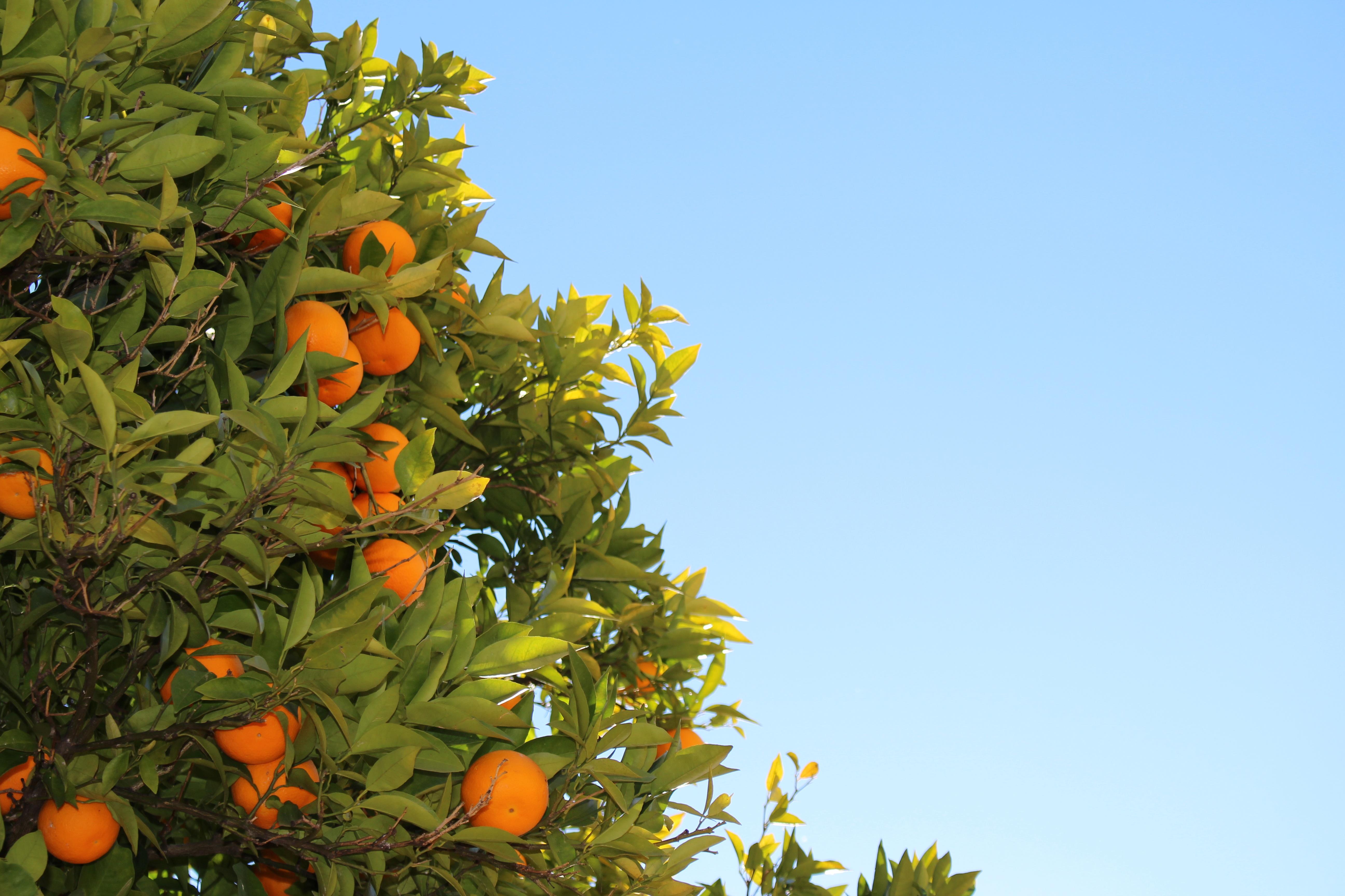 albero-agrumi